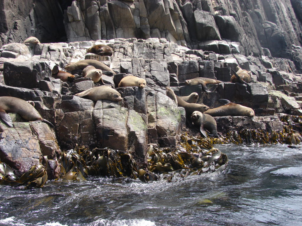 Seals at the Bruny Island Cruise
